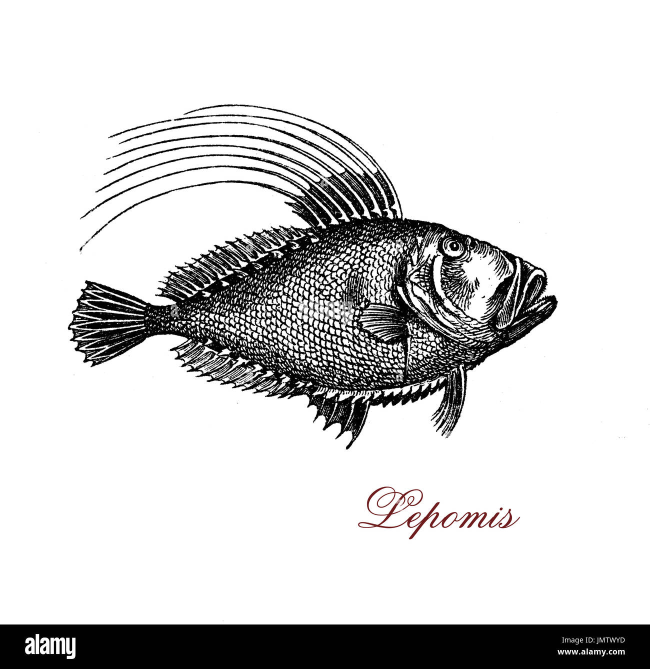 Vintage engraving of lepomis or sunfish, freshwater fish widely distributed throughout the lakes and rivers of North America - Stock Image