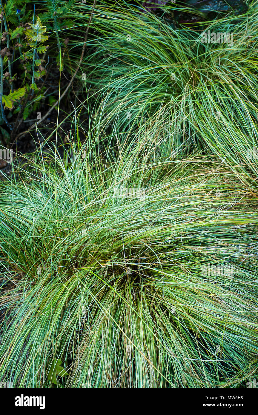 Carex albula. Frosted Curls. - Stock Image