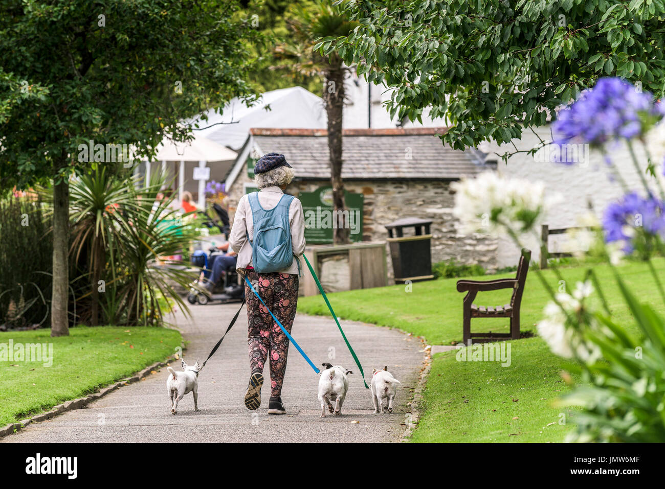A dog walker with three small dogs in Trenance Gardens in Newquay, Cornwall. - Stock Image