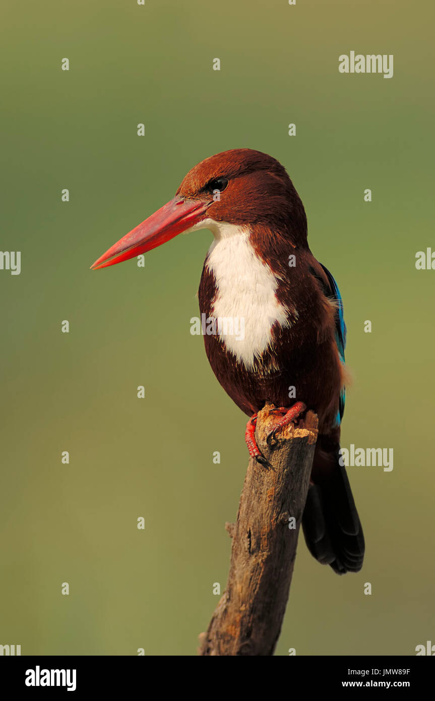White-breasted Kingfisher, Keoladeo Ghana national park, Rajasthan, India / (Halcyon smyrnensis) / White-throated Kingfisher - Stock Image