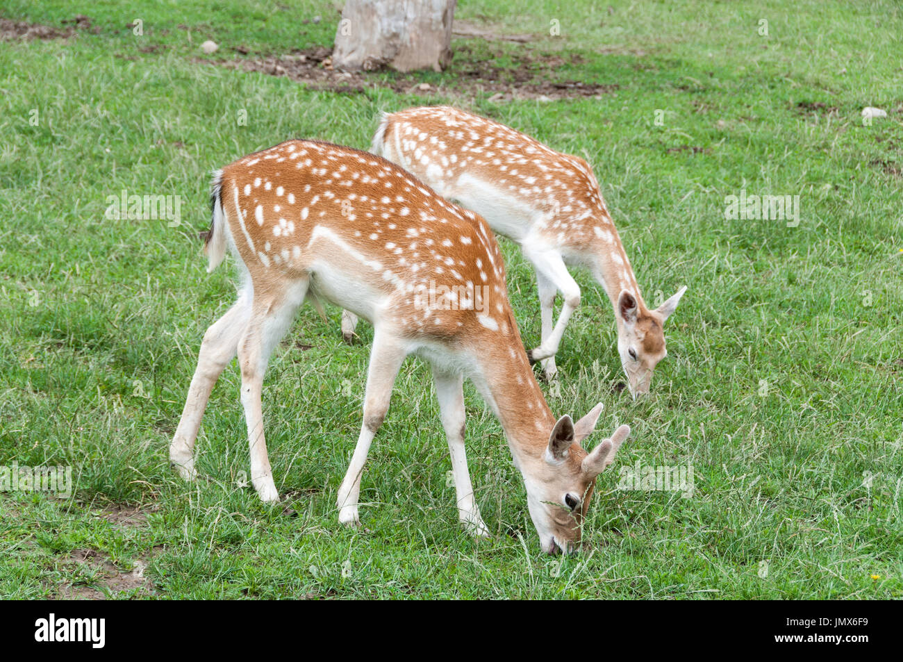 The fallow deer (Dama dama) - Stock Image