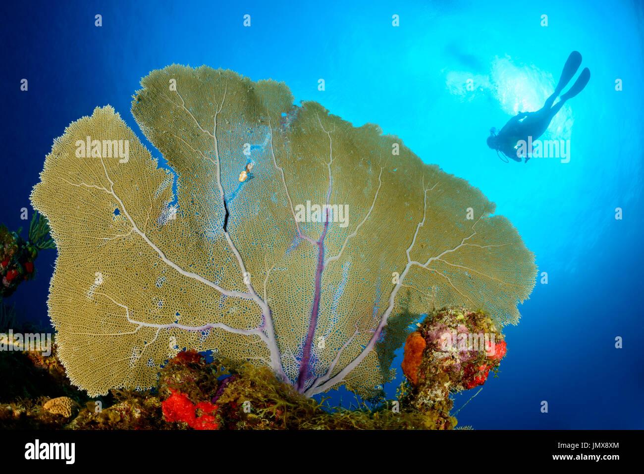 Gorgonia sp., Caribbean Coralreef and scuba diver with Gorgonia, Cooper Island, British Virgin Islands, Caribbean Stock Photo