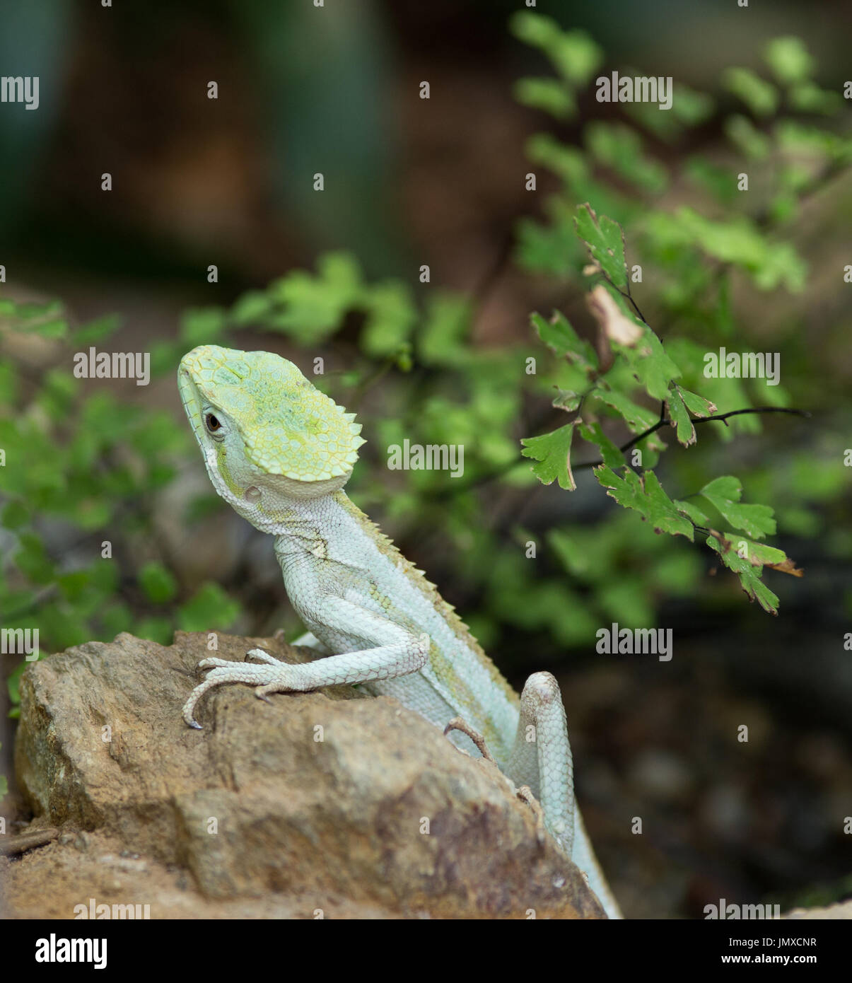 Portrait of serrated basilisk lizard standing on rock with leaves in background - Stock Image