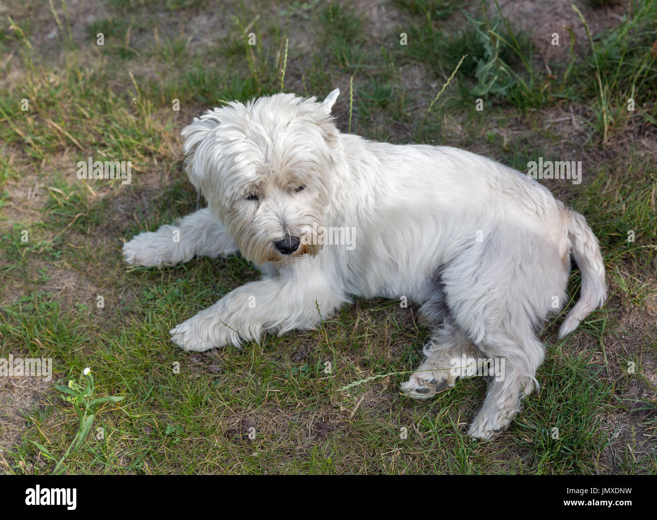 Westie dog lies on the groung closeup. West Highland White Terrier, commonly known as the Westie, a breed of dog from Scotland. - Stock Image