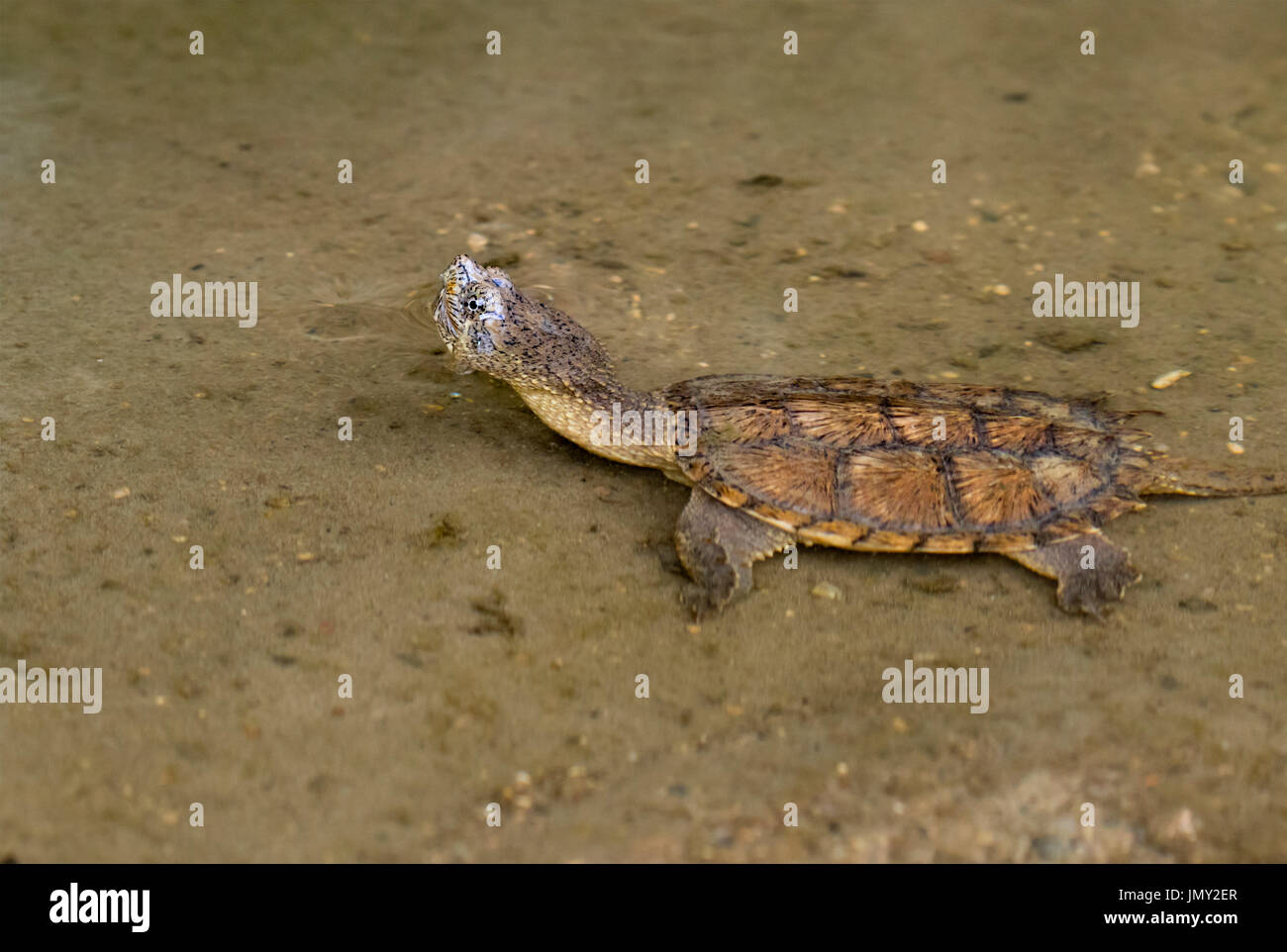 Swimming juvenile common snapping turtle (Chelydra serpentina) Stock Photo