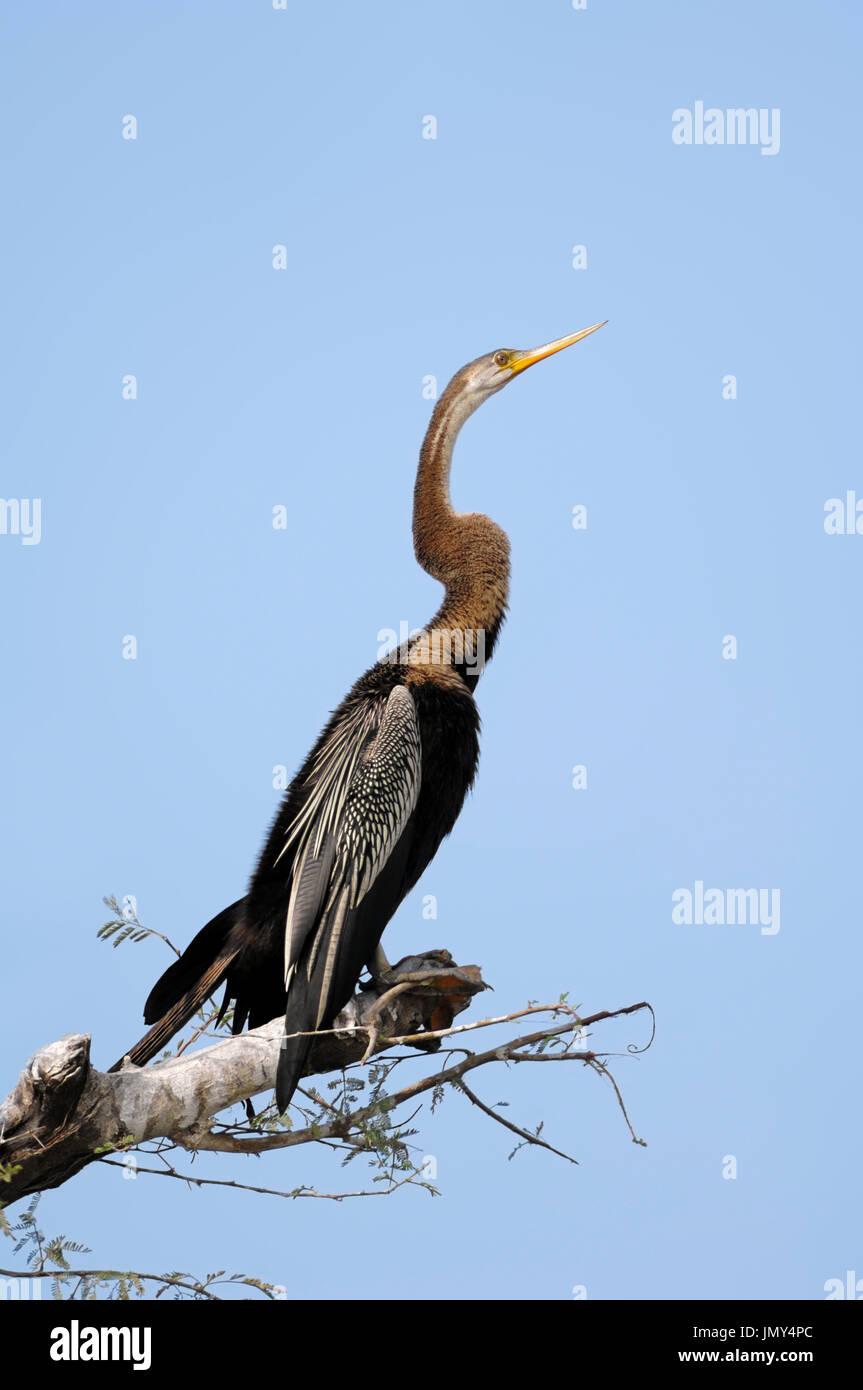 Oriental Darter, Keoladeo Ghana national park, Rajasthan, India / (Anhinga melanogaster) / Indian Darter - Stock Image