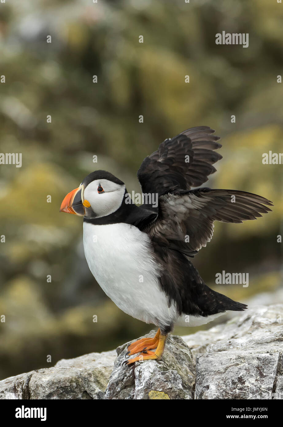 Puffin flapping wings - Stock Image