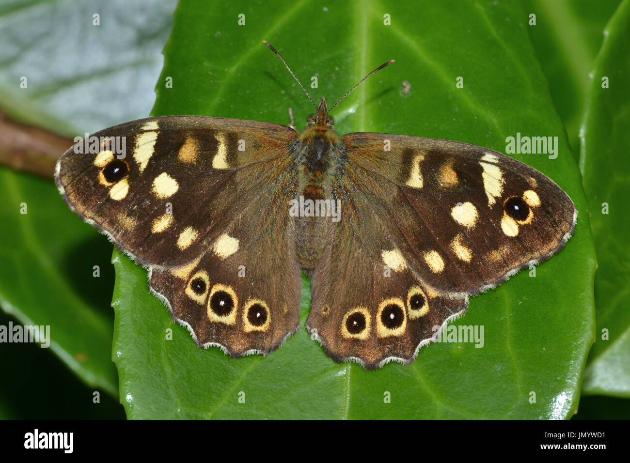 Speckled Wood butterfly,Pararge Aegeria, Fermyn Wood, Northants, UK - Stock Image