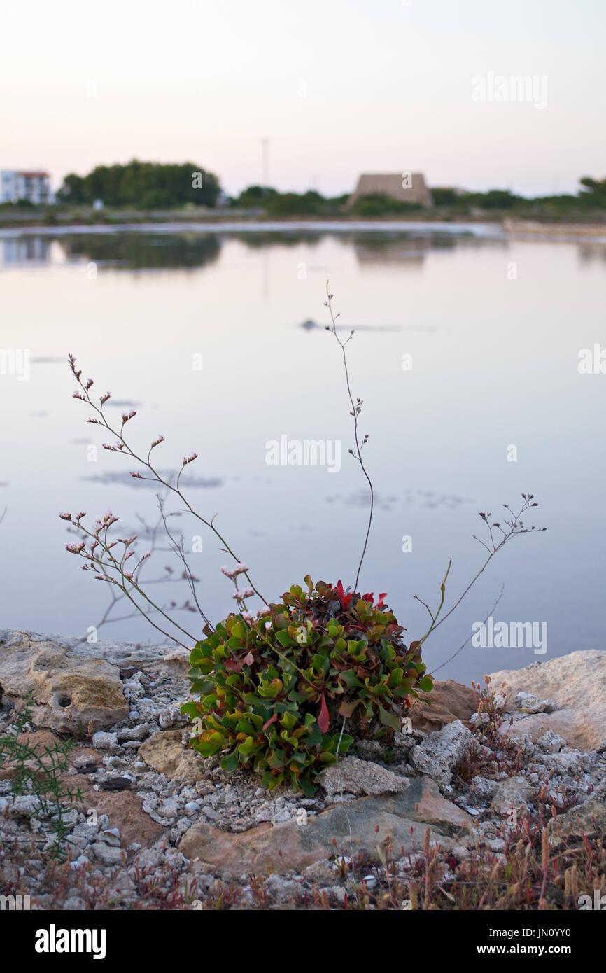 Limonium sp. at Ses Salines Natural Park (Formentera, Balearic Islands, Spain) - Stock Image