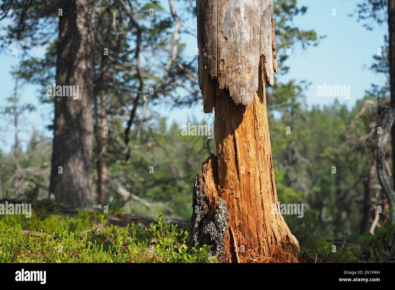 Worn out tree in Kuusamo, Finland - Stock Image