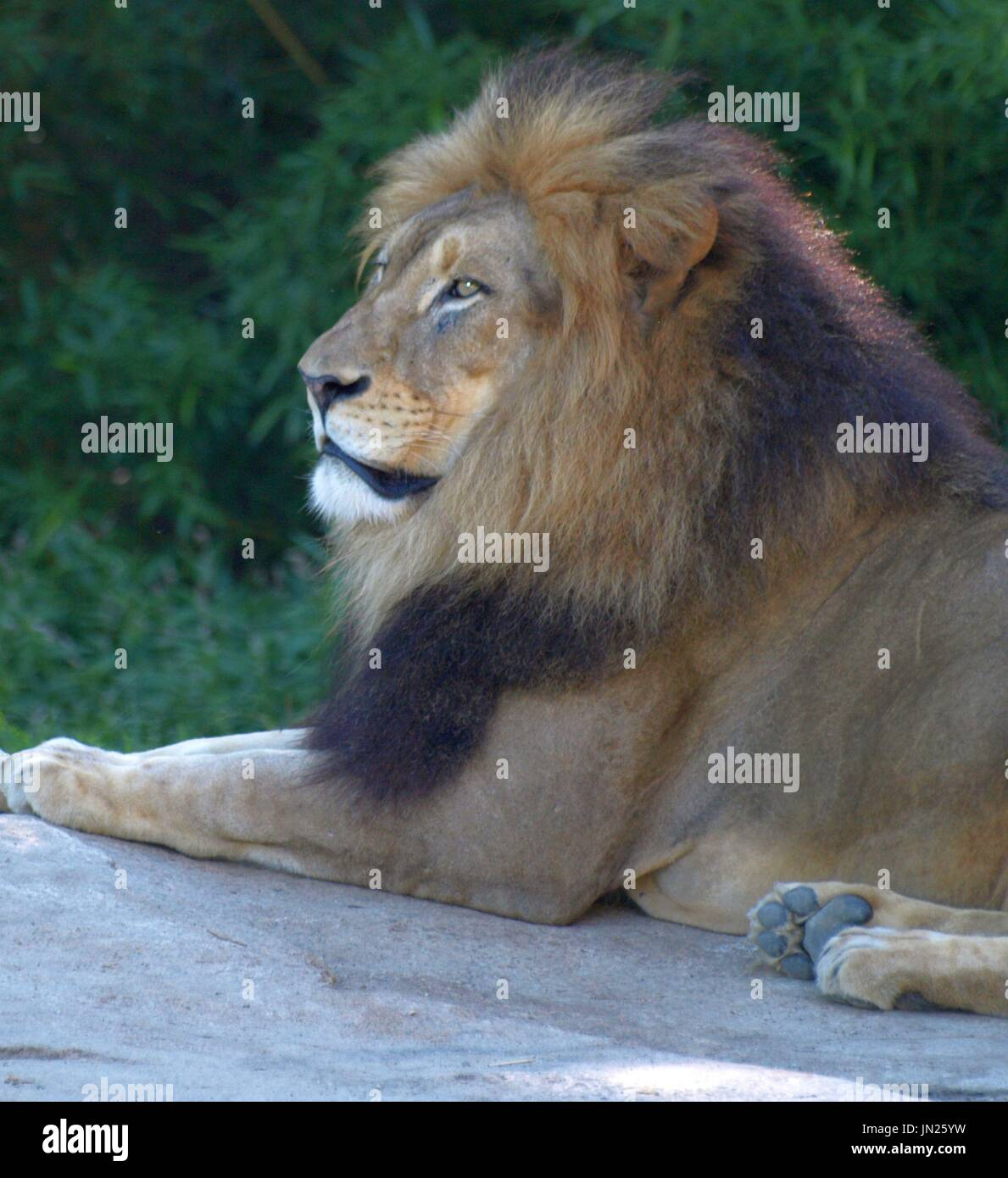Majestic male lion relaxing on rock, looking out. - Stock Image