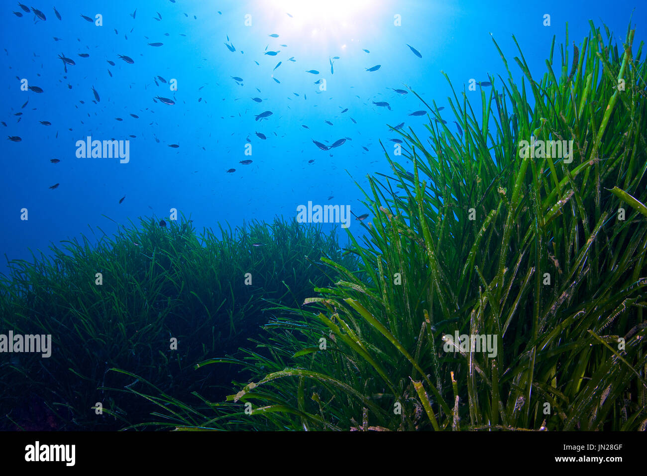 Underwater scene showing neptune grass (Posidonia oceanica) meadows at Ses Salines Natural Park at Formentera (Balearic Islands, Spain) - Stock Image
