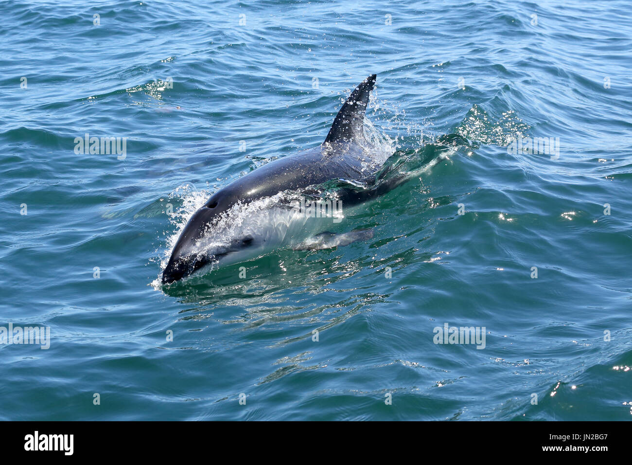 African Dusky Dolphin (Lagenorhynchus obscurus) in waters off Namibia - Stock Image
