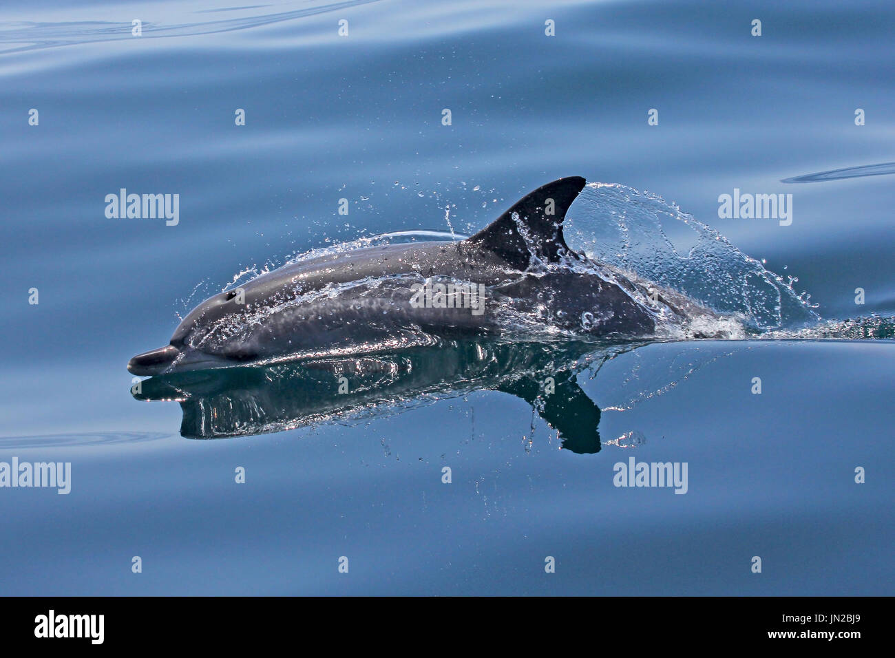 Atlantic Spotted Dolphin (Stenella frontalis) surfacing next to the boat with a glassy calm sea - Stock Image