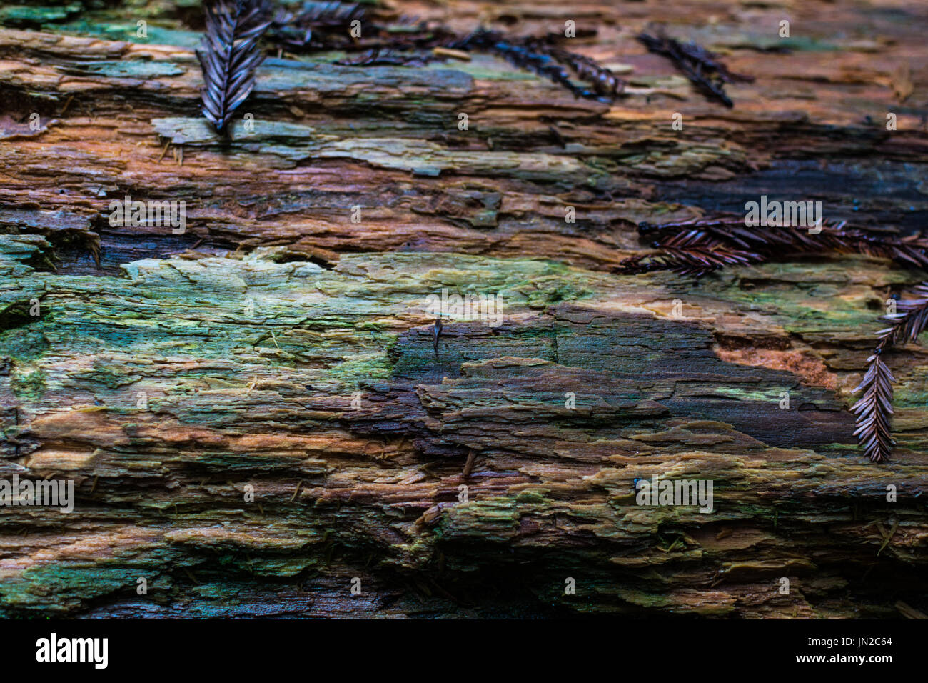 The texture of the ancient redwoods is full of color - Stock Image