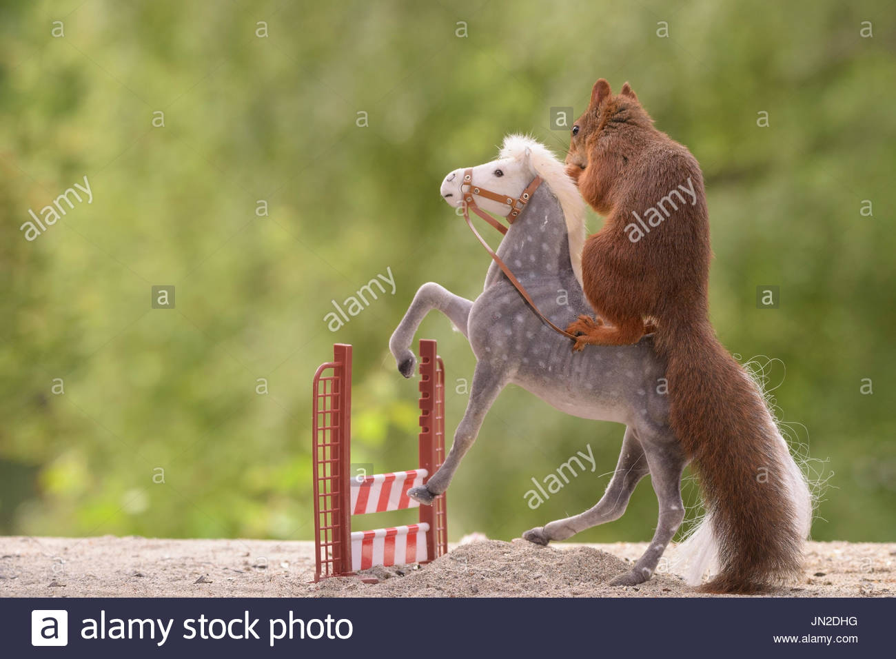 red squirrel standing on jumping horse with a hurdle - Stock Image