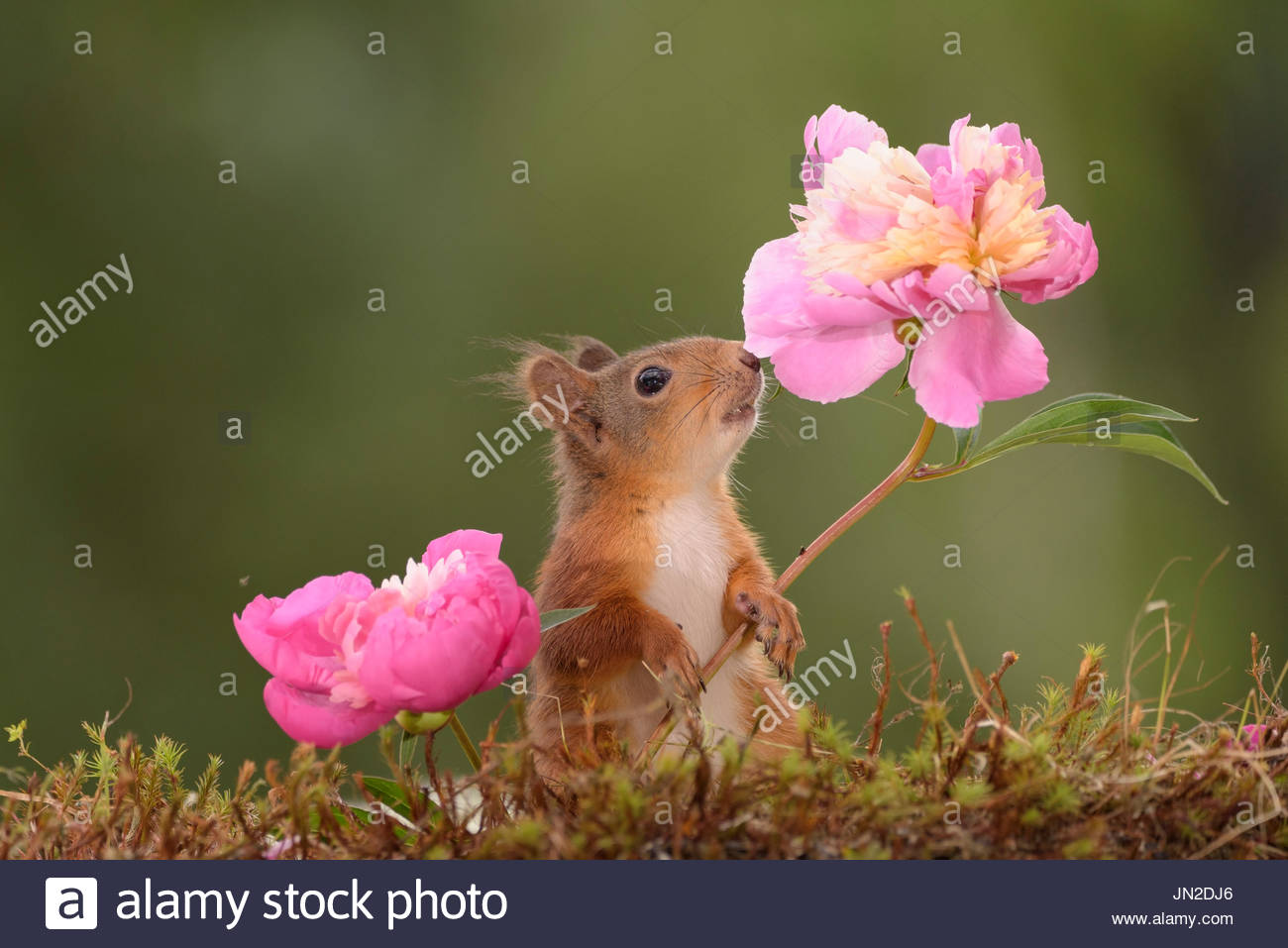red squirrel  smelling  Peony - Stock Image