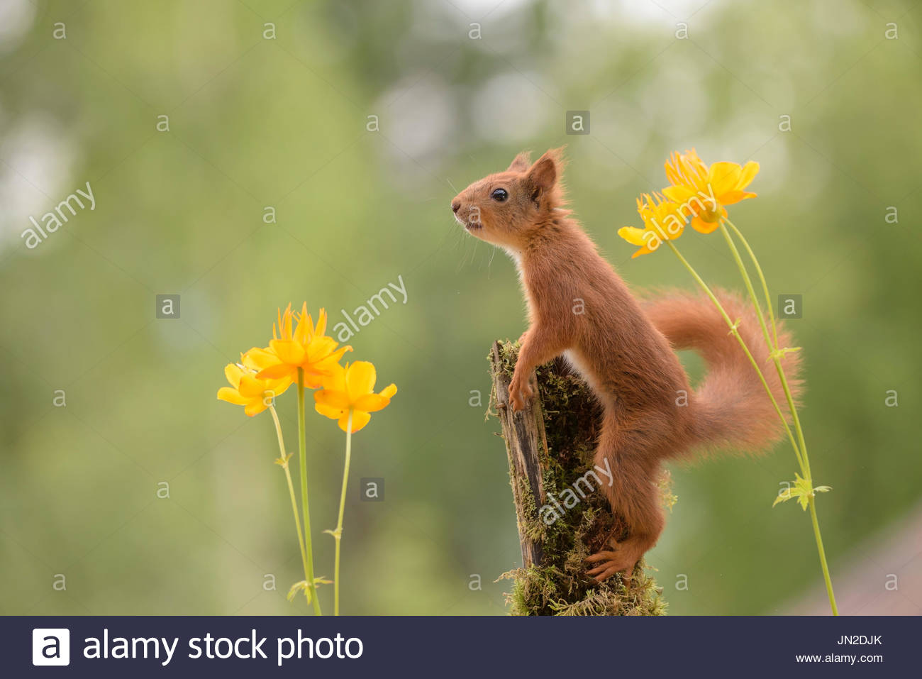 red squirrel with Yellow Globeflowers - Stock Image