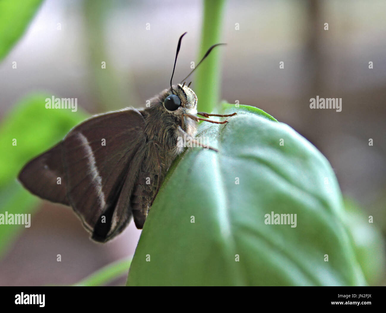 Common Banded Awl Butterfly - Stock Image