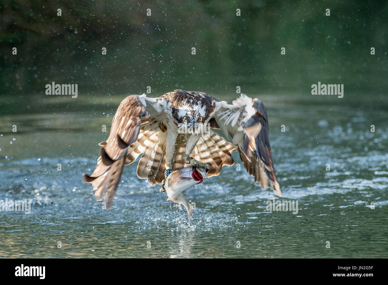 Ospreys fishing at Horn Lane Trout Fishery in Rutland - Stock Image