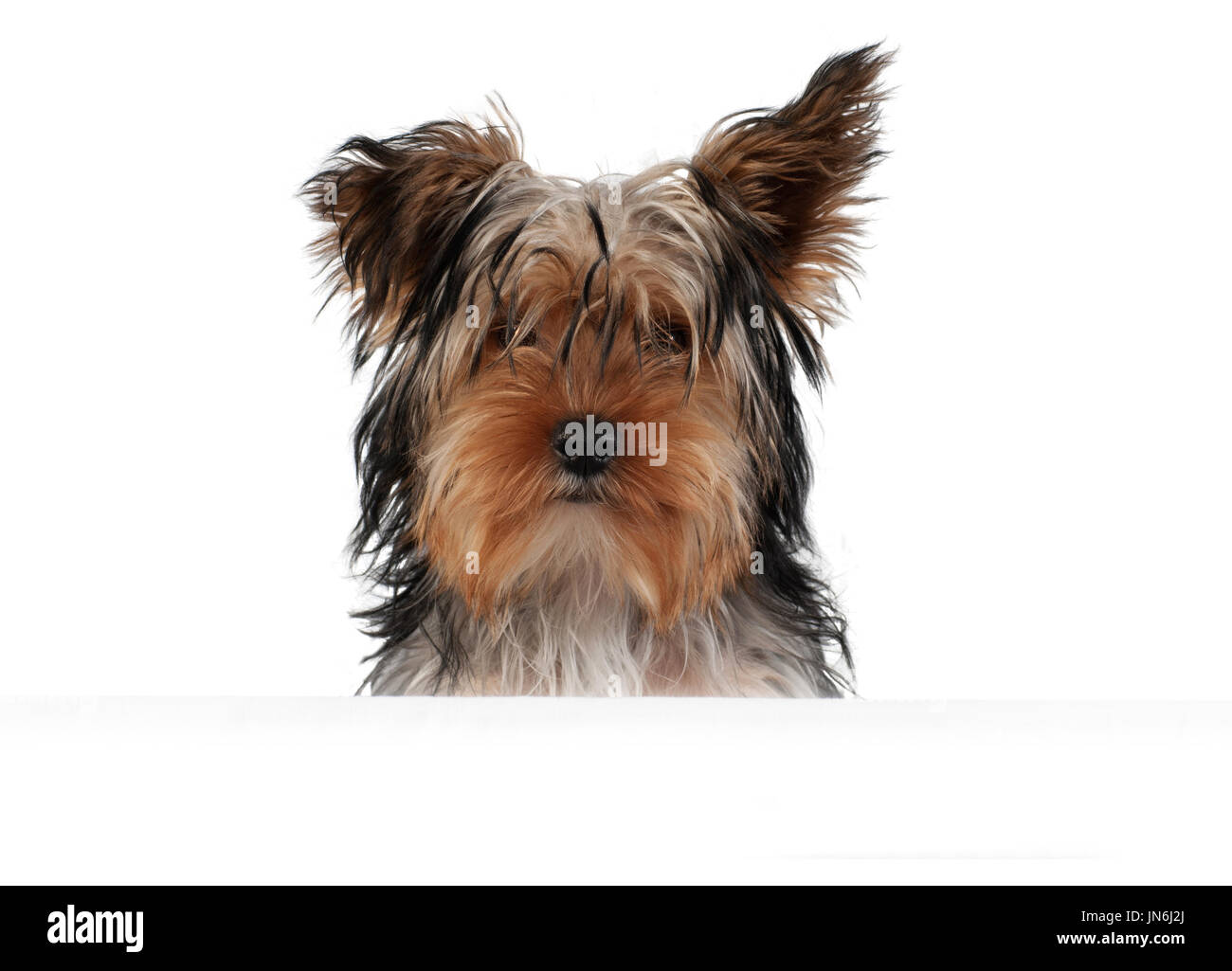 Yorkshire Terrier isolated on white Stock Photo