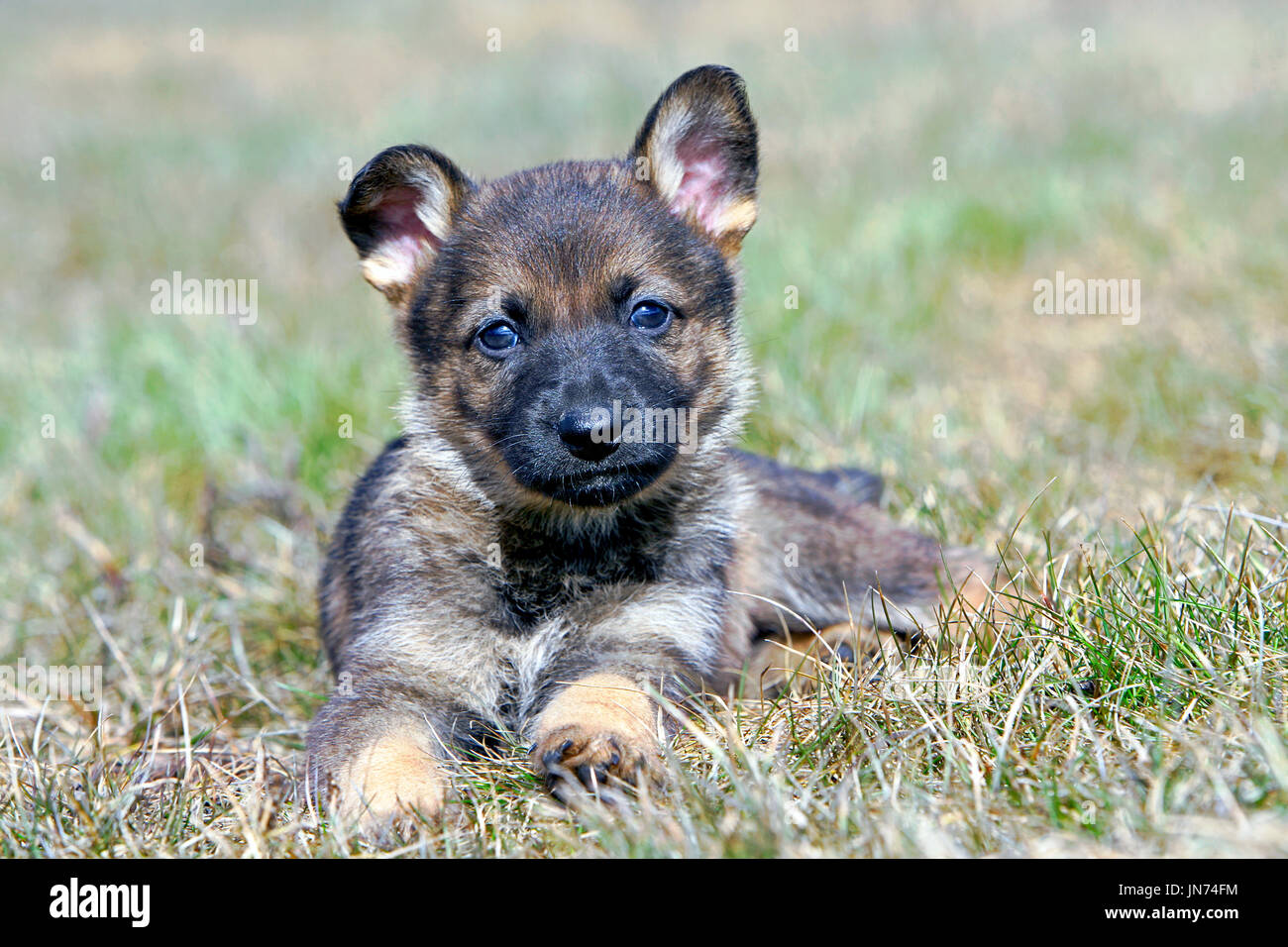German Shepherd Puppy five weeks old, laying on grass - Stock Image