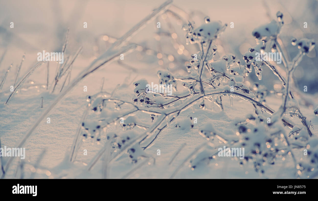 Dry plant covered with ice on a background of snow on a sunny day - Stock Image