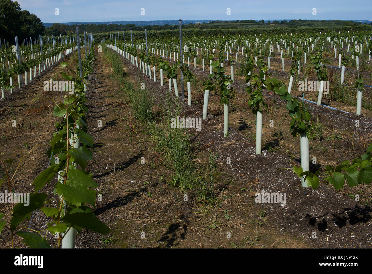 A view of a young vineyard in Kent - Stock Image