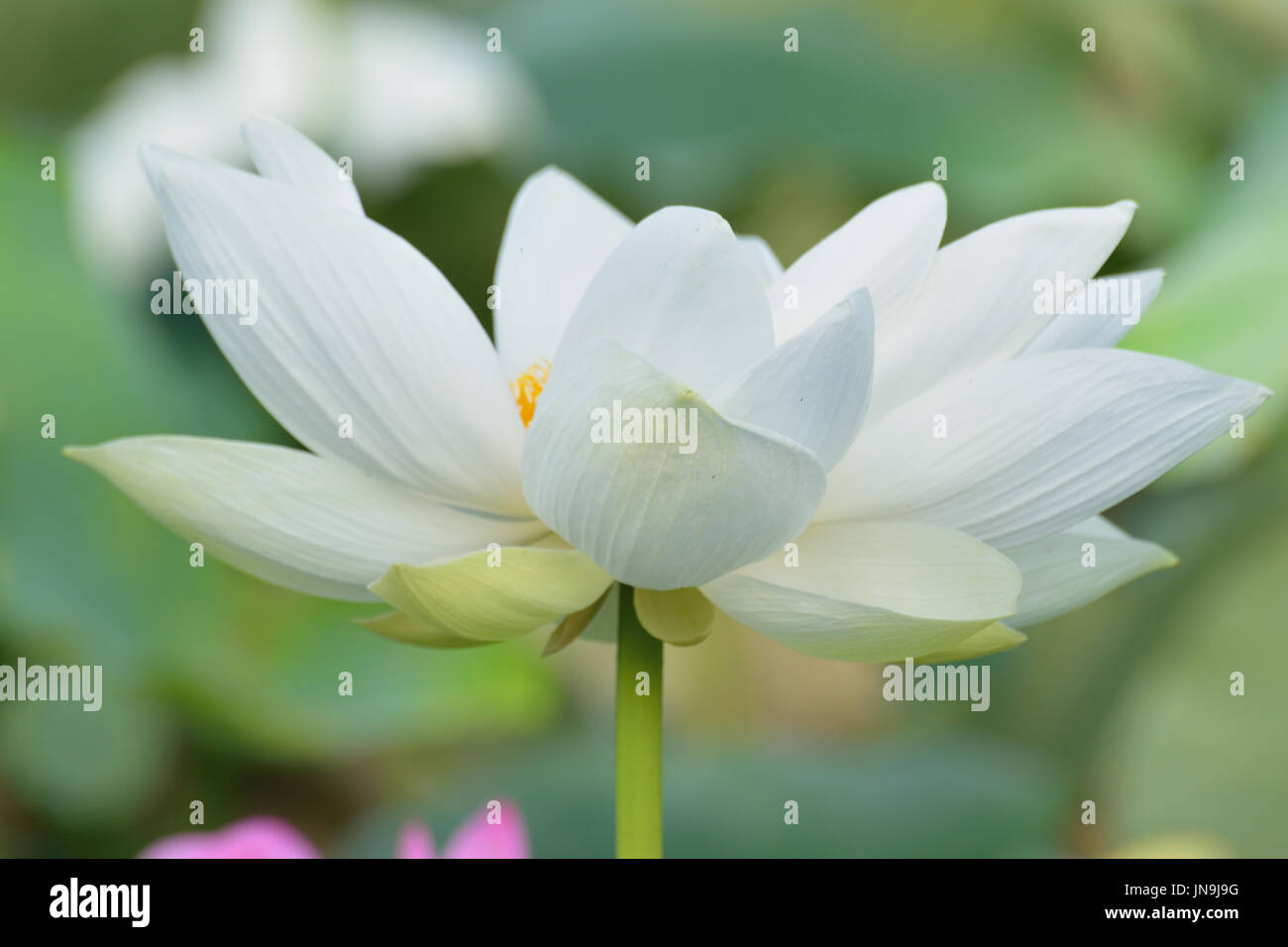 Macro Texture Of Japanese White Lotus Flower With Sunshine In Stock