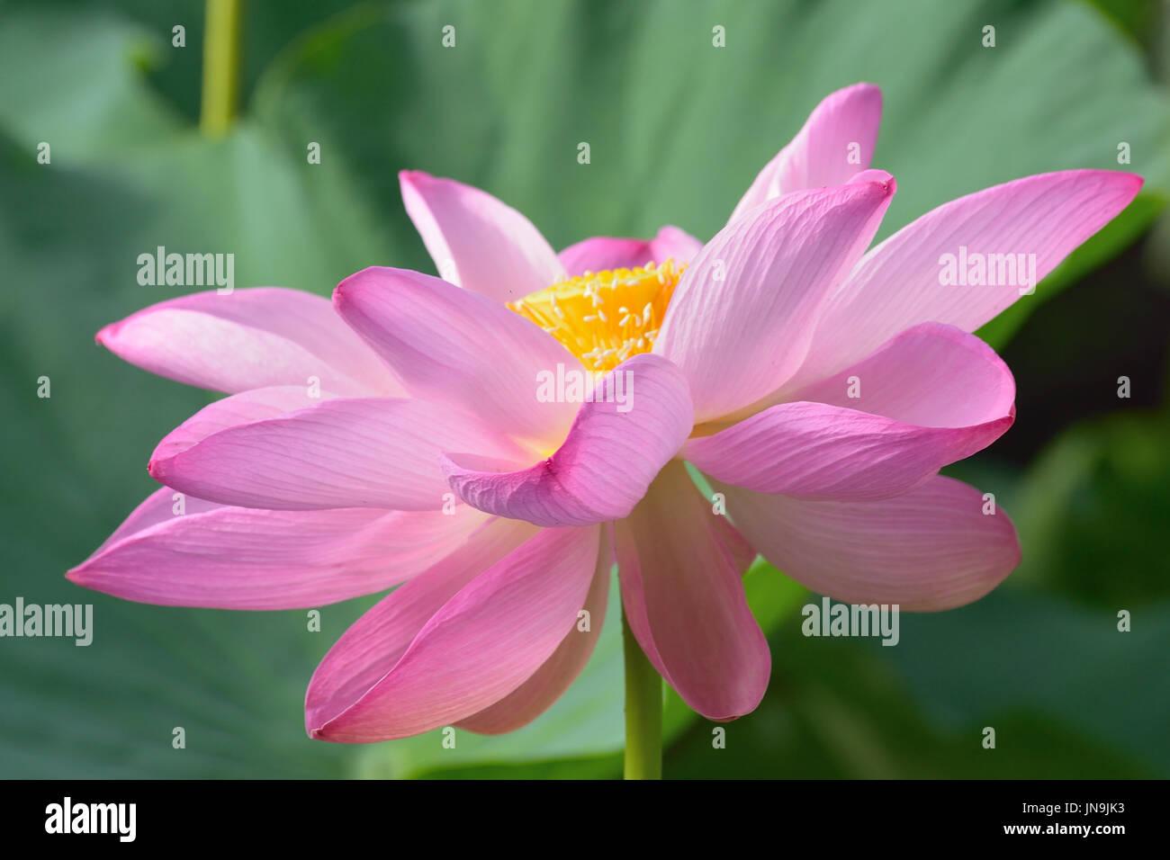 Beautiful Lotus Flower In Japanese Stock Photos Beautiful Lotus