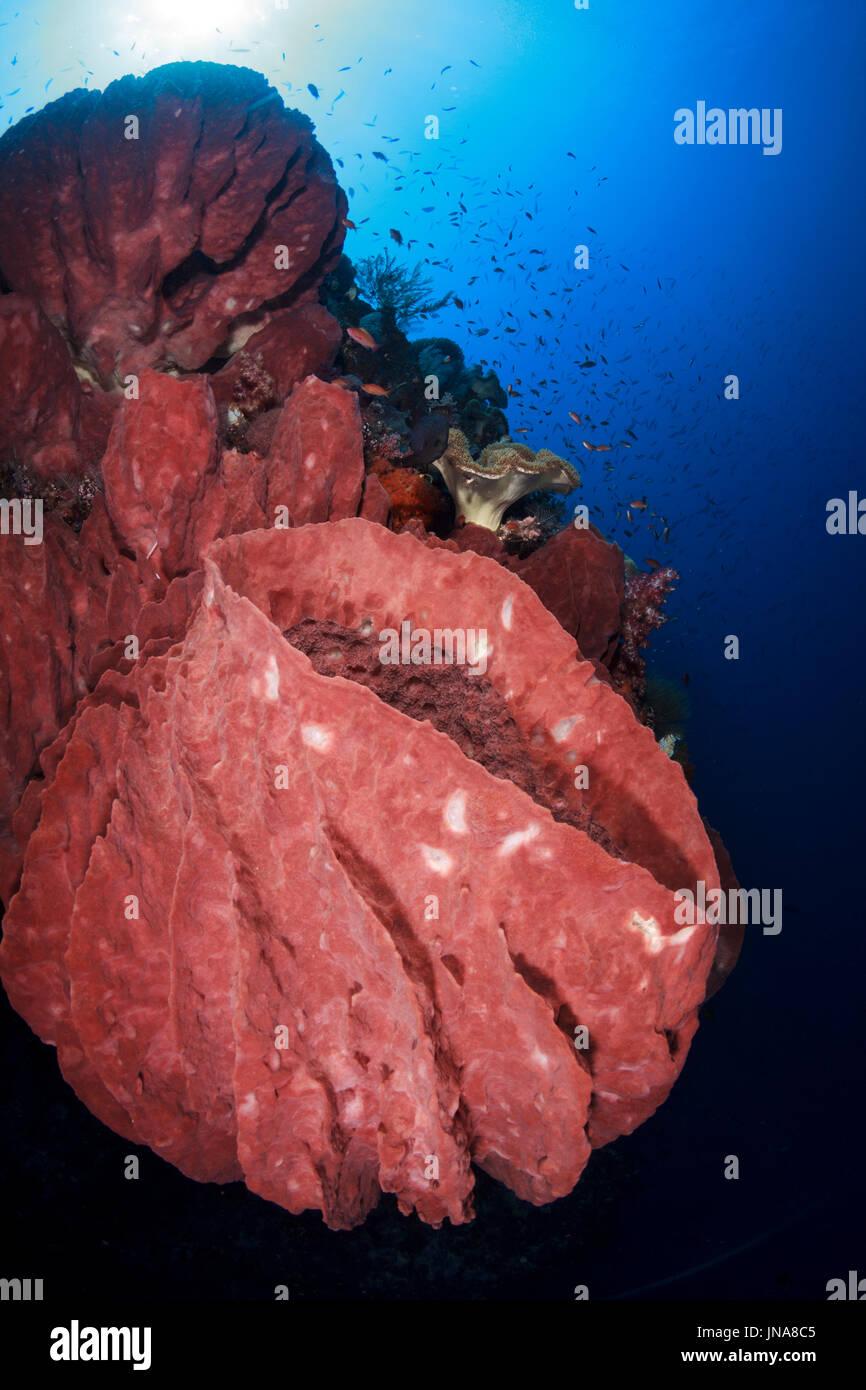 Coral reef scene in the southern Banda Sea, Forgotten Islands, Indonesia - Stock Image