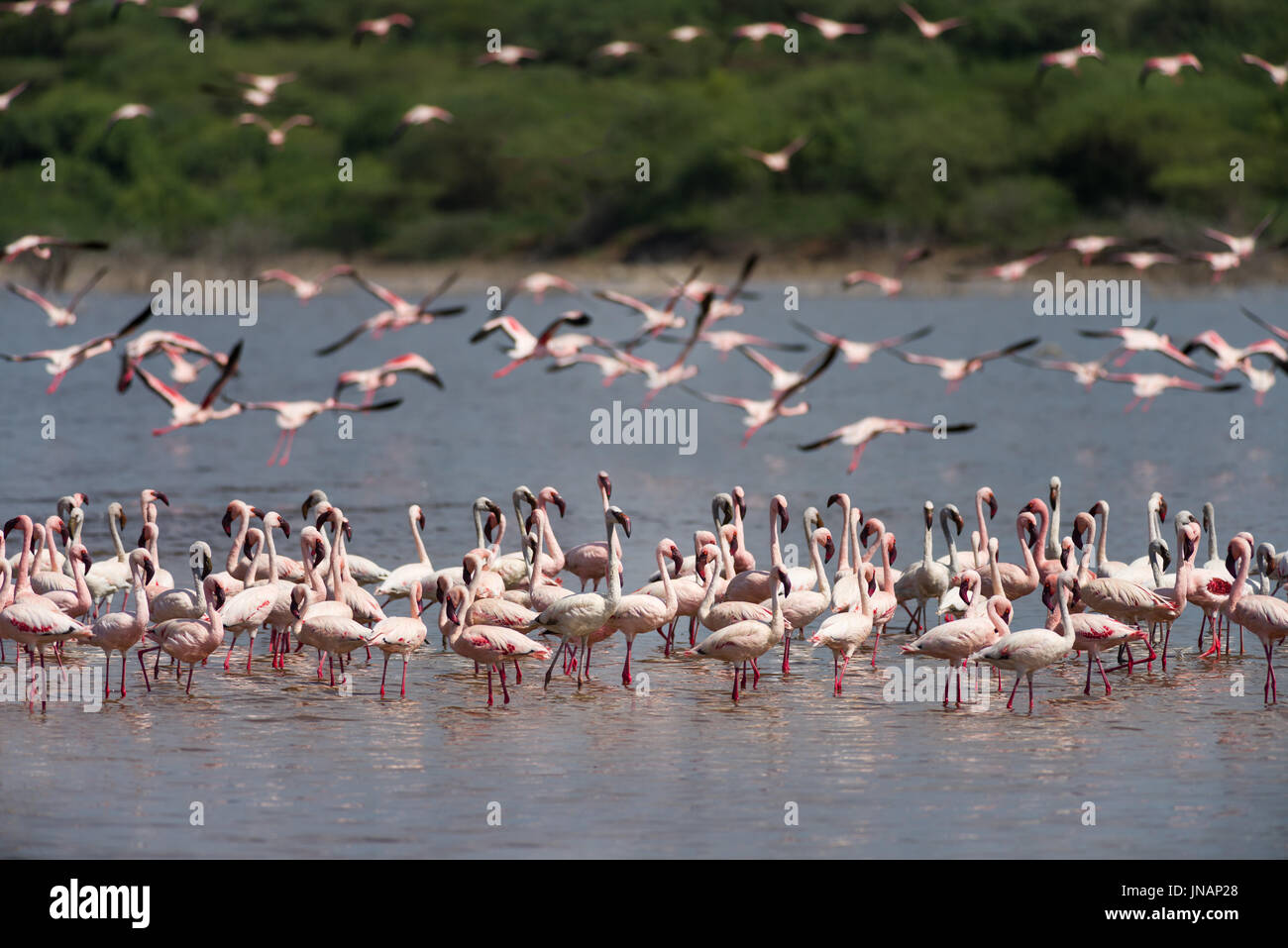 Lesser Flamingos Standing In Water And Flying In Background (Phoeniconaias minor) At Lake Bogoria National Park, Stock Photo