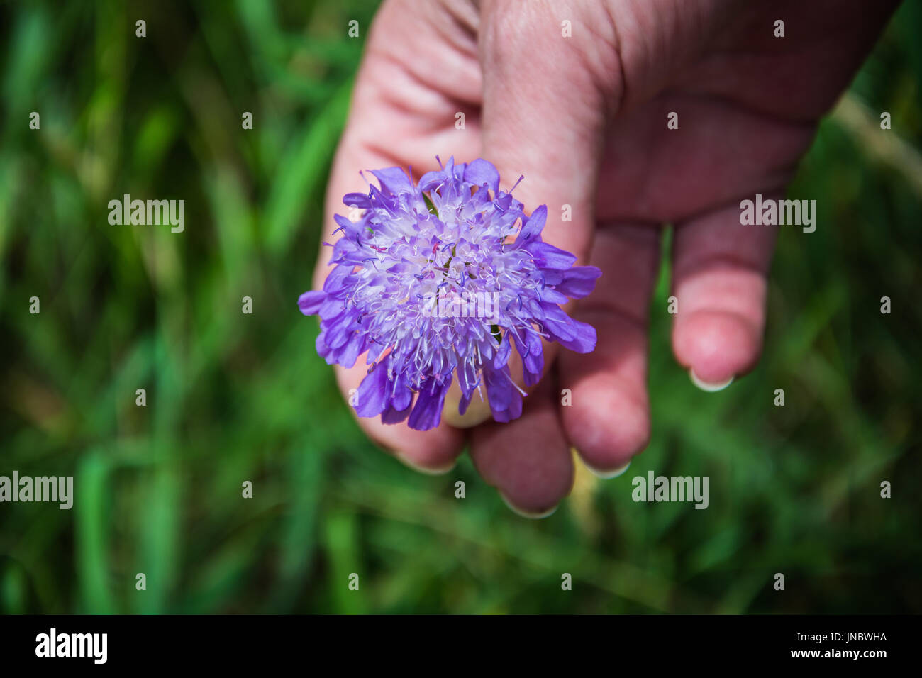 A wild Devil's-bit Scabious (Succisa pratensis) at the opened inflorescence stage being examined by a botanist on Wenlock Edge, Shropshire, UK. - Stock Image