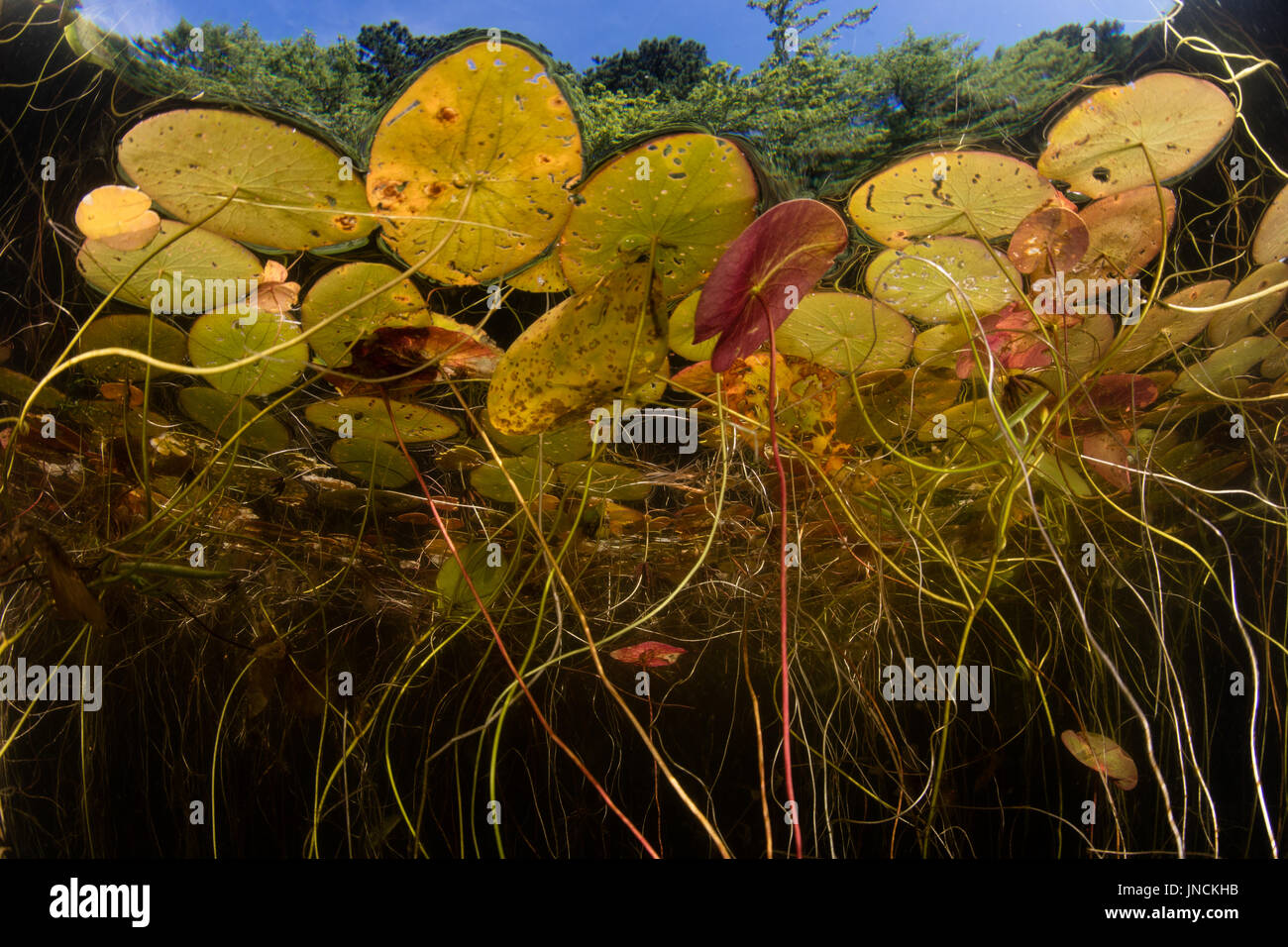 Lily pads grow at the edge of a freshwater pond on Cape Cod, Massachusetts. This beautiful New England peninsula has many lakes and kettle ponds. - Stock Image
