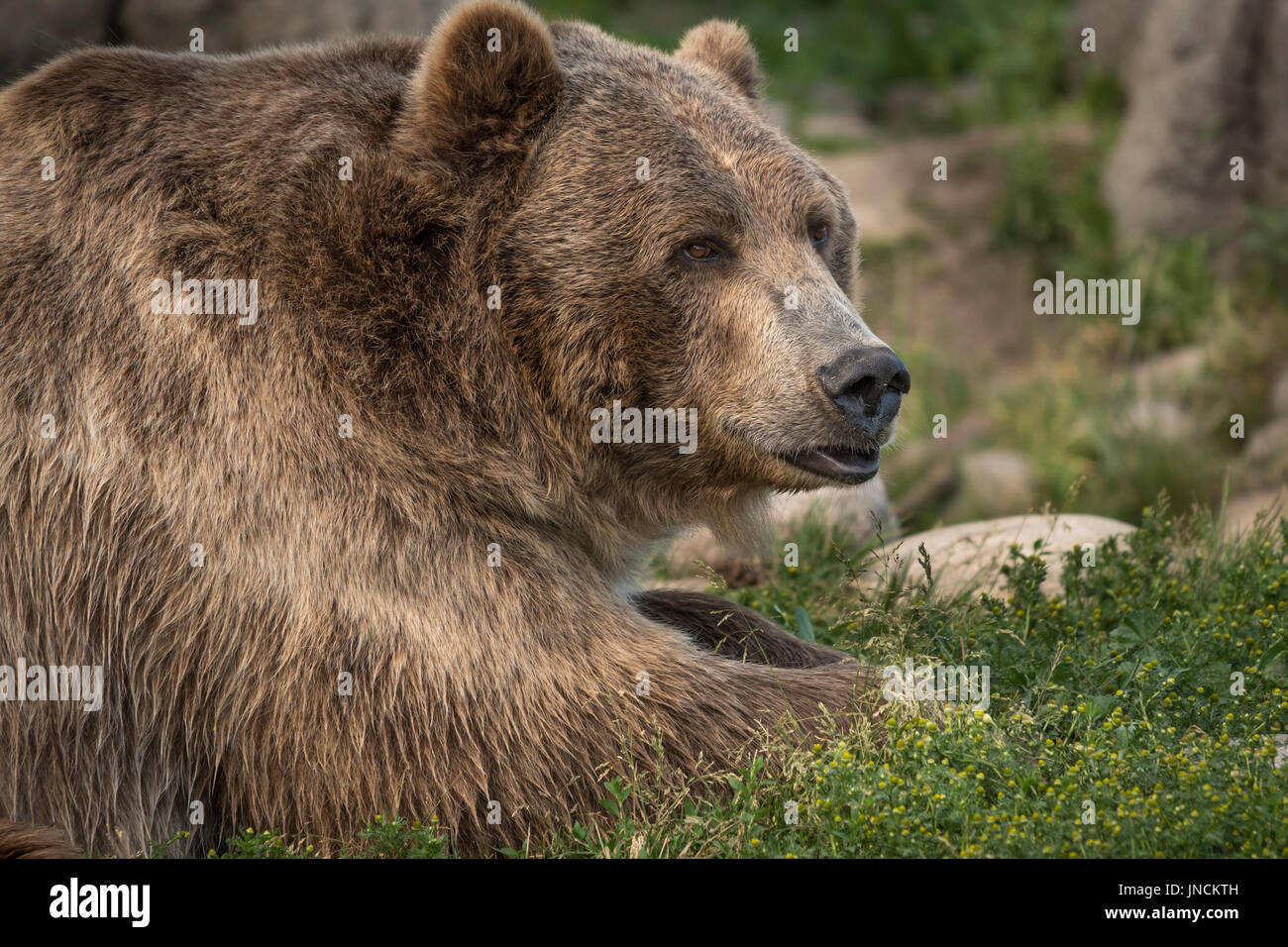 Brutus the grizzly bear at Montana Grizzly Encounter near Bozeman, Montana. - Stock Image