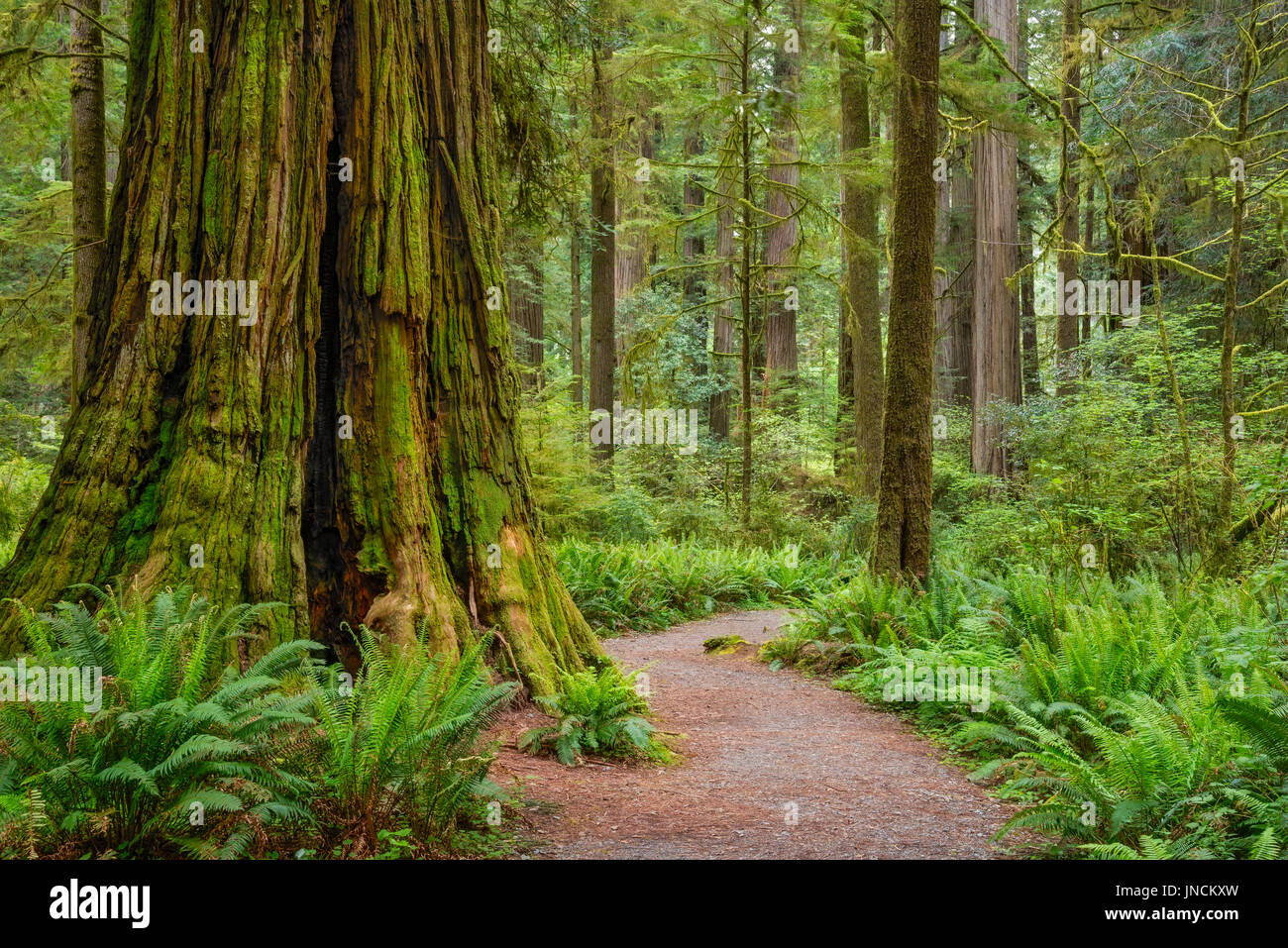 Trail through redwood trees in Simpson-Reed Grove, Jedediah Smith State Park, California. - Stock Image
