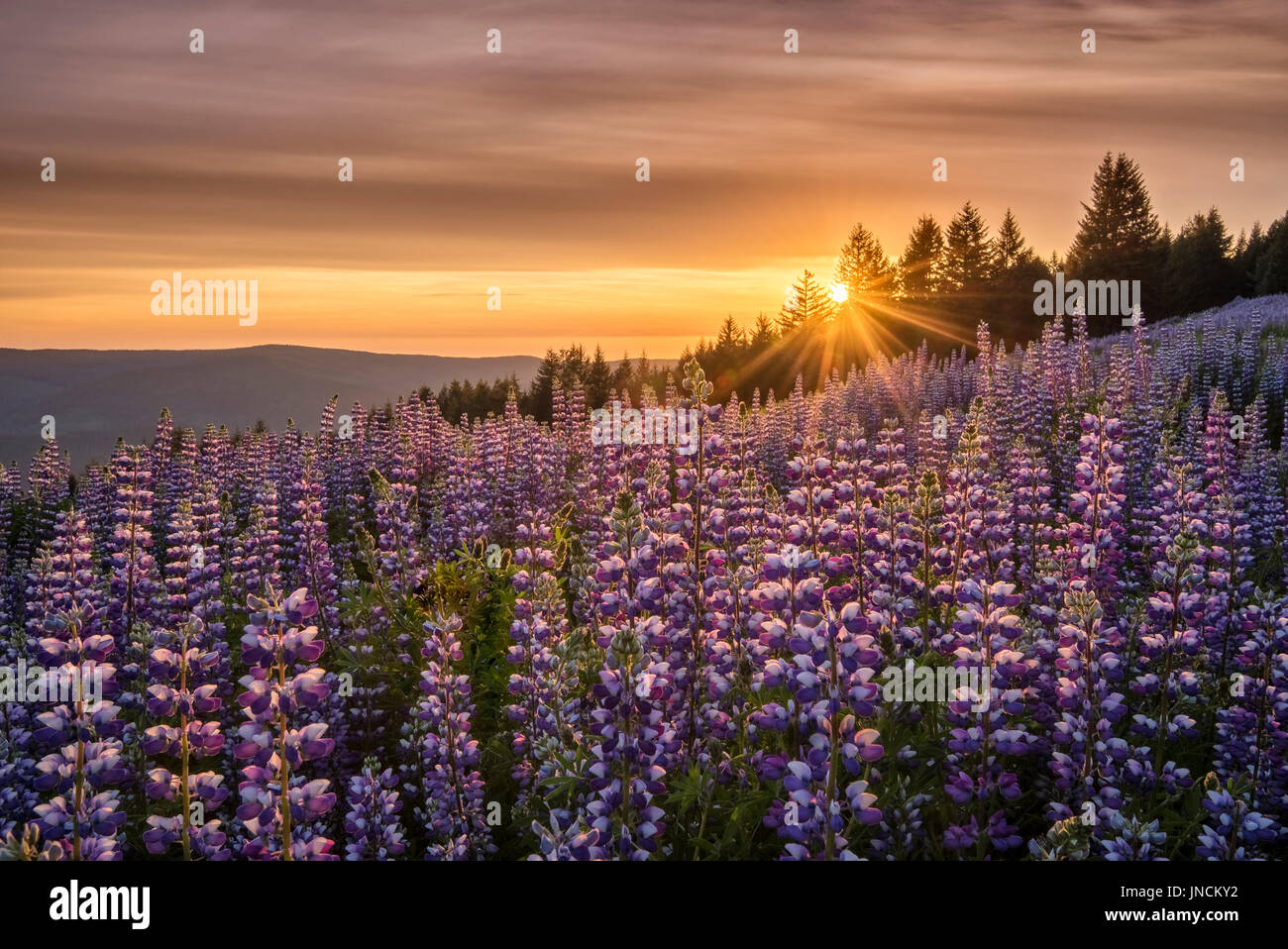 Lupine at Dolason Prairie, Redwoods State and National Parks, California. - Stock Image