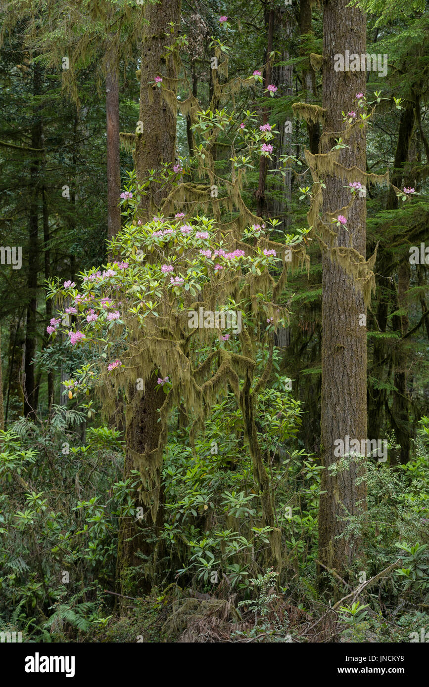 Rhododendron blooming along Howland Hill Road, Redwoods State and National Parks, California. - Stock Image