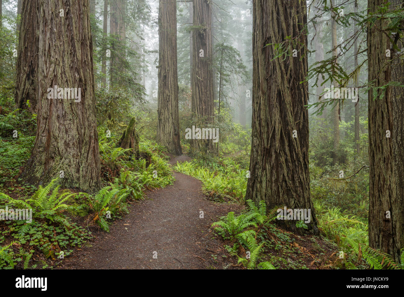 Trail through Lady Bird Johnson Grove, Redwoods State and National Parks, Calfornia. - Stock Image