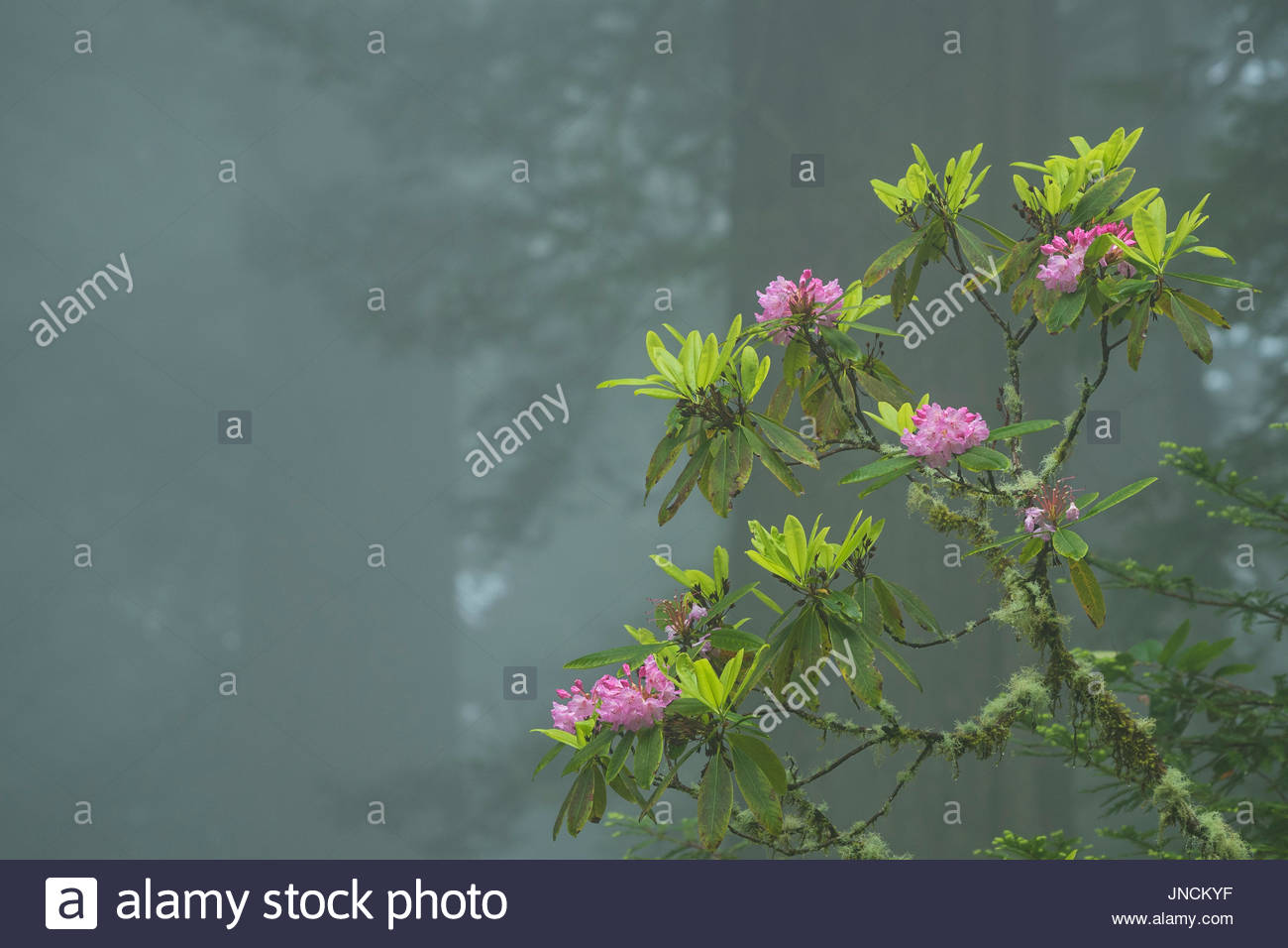 Rhododendron blooming in the fog, Del Norte Redwoods State Park, Redwoods State and National Parks, California. - Stock Image