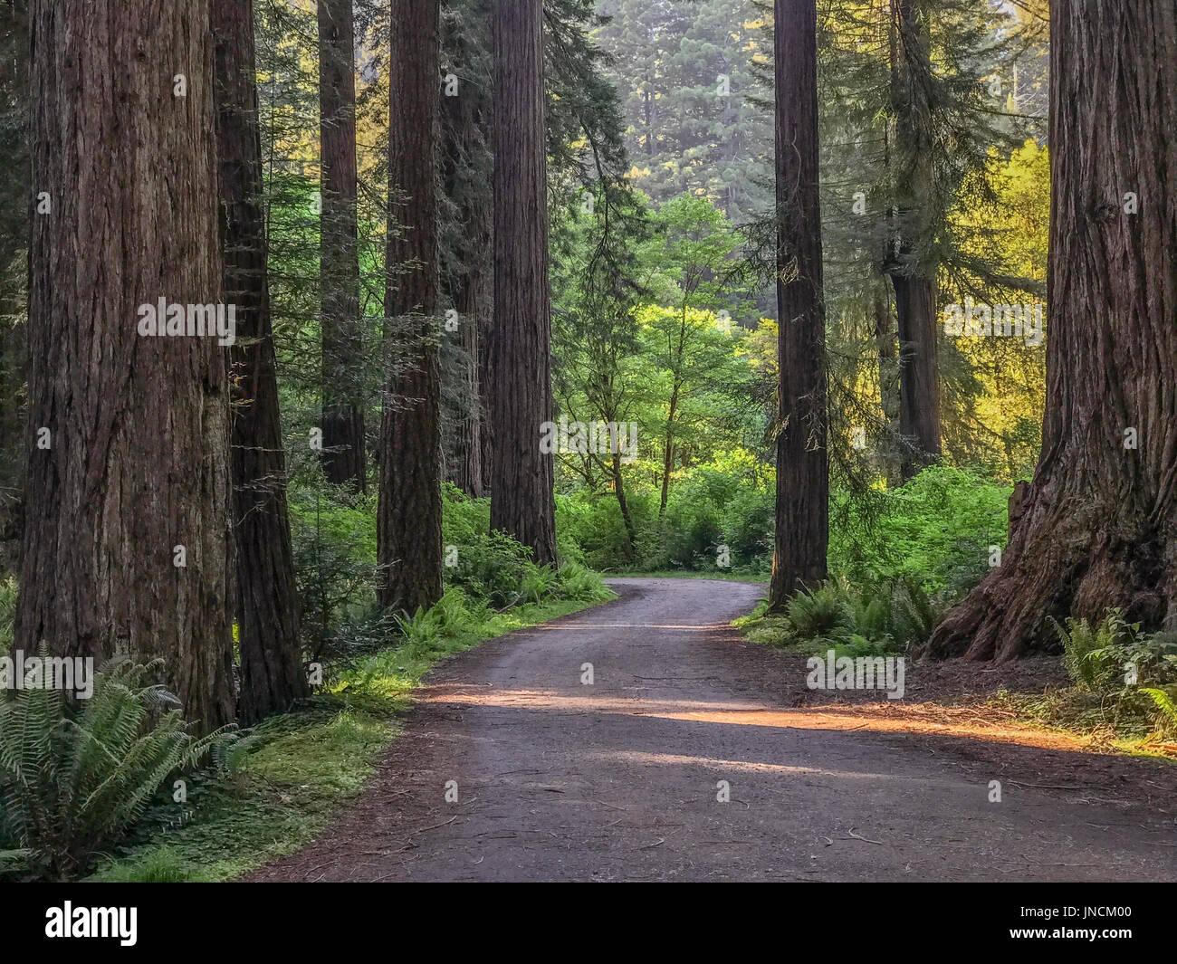Cal Barrel Road, Prairie Creek Redwoods State Park, California. - Stock Image