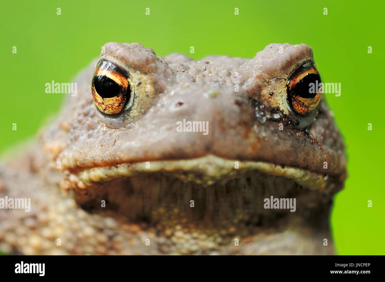 Common Toad, North Rhine-Westphalia, Germany / (Bufo bufo) | Erdkroete, Nordrhein-Westfalen, Deutschland / (Bufo Stock Photo