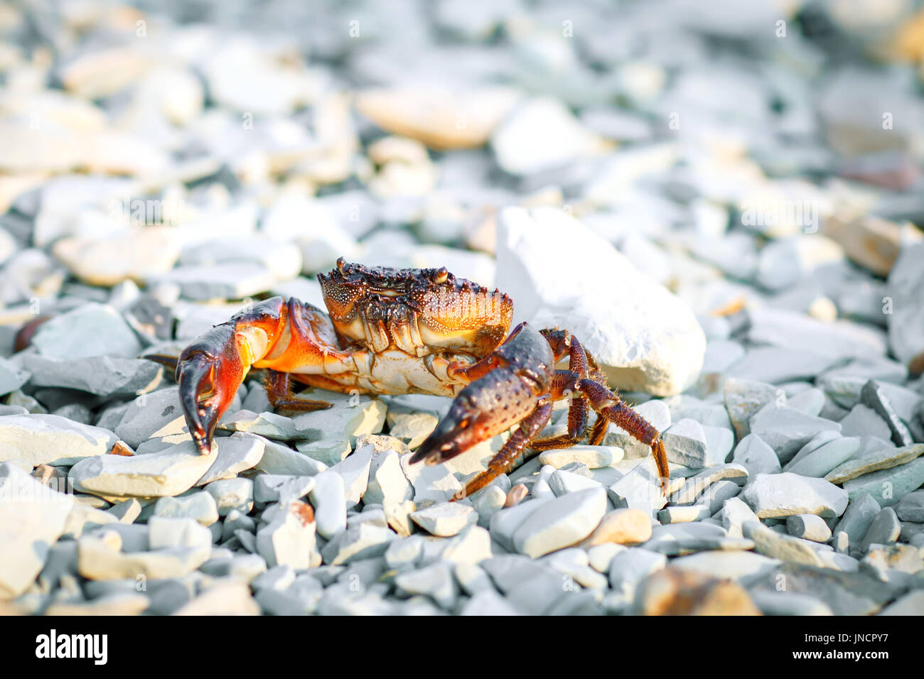 Sea crab on the rocky shore of the sea. Stock Photo