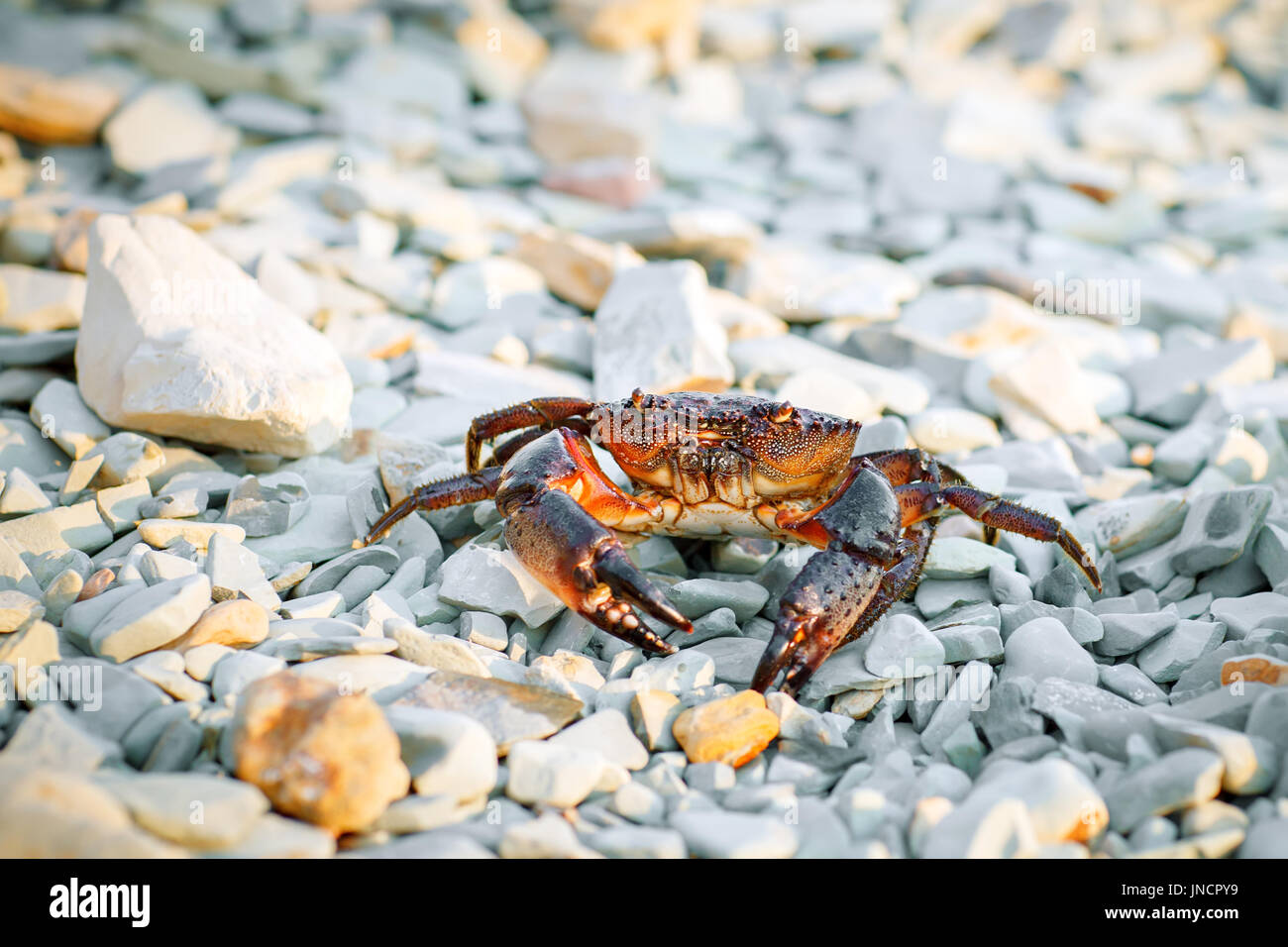 Sea crab on the rocky shore of the sea. - Stock Image