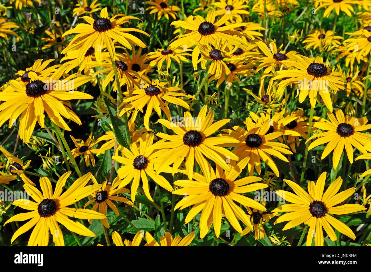 Black-eyed Susan / (Rudbeckia fulgida)   Sonnenhut / (Rudbeckia fulgida) - Stock Image