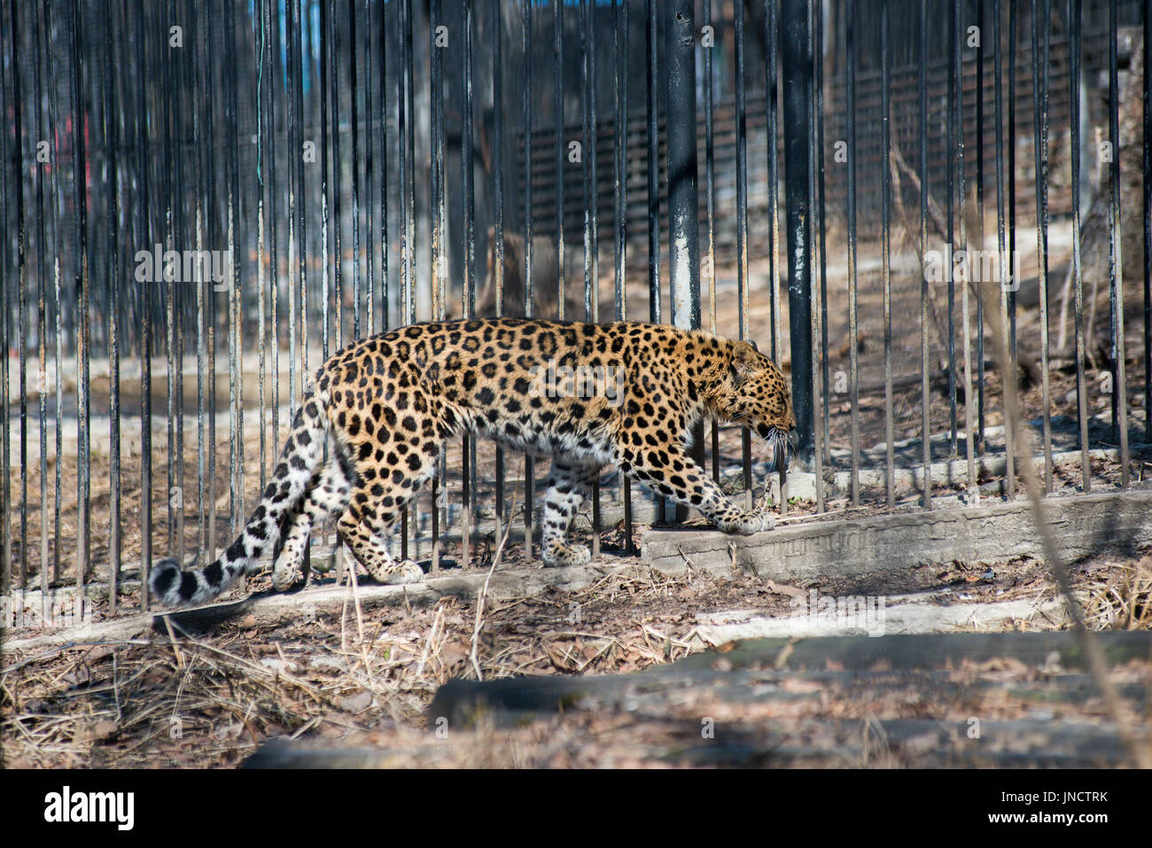 Far-Eastern leopard strong fast wild animal - Stock Image