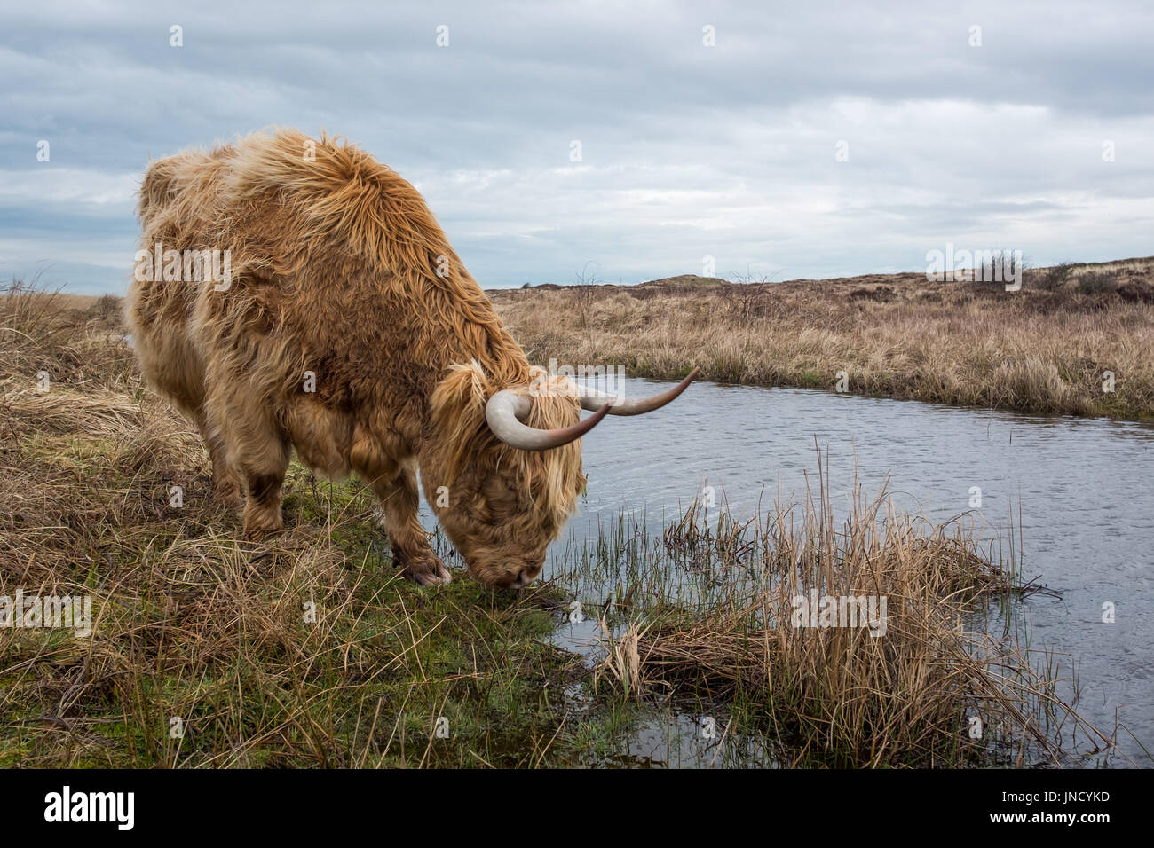 Scottish Highland cow in the Dunes of Texel, Tuesday 28 February 2017, Texel, The Netherlands. - Stock Image