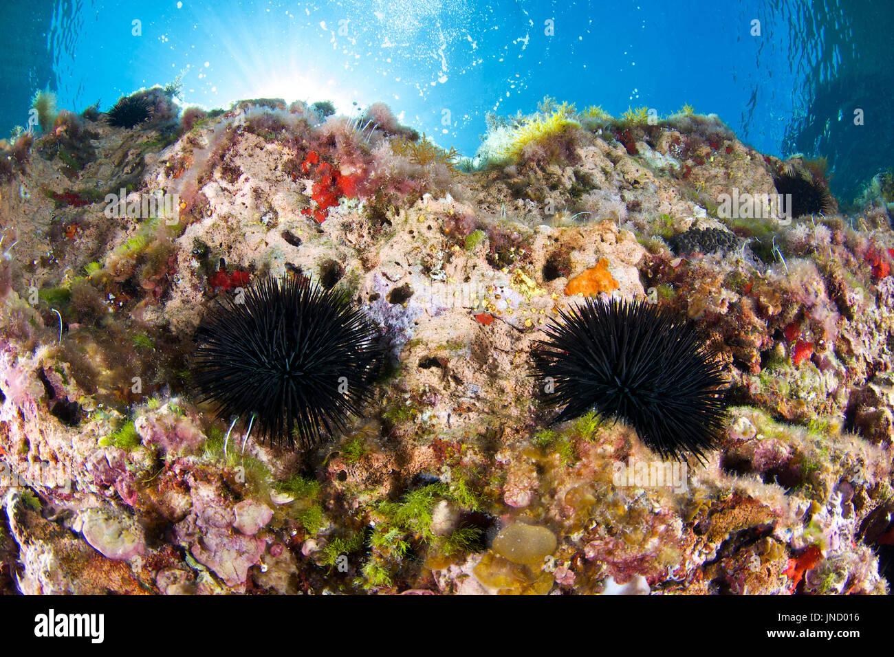 A pair of black sea urchin (Arbacia lixula) with sunbeams at the background at Ses Salines Natural Park at Formentera (Balearic Islands, Spain) - Stock Image
