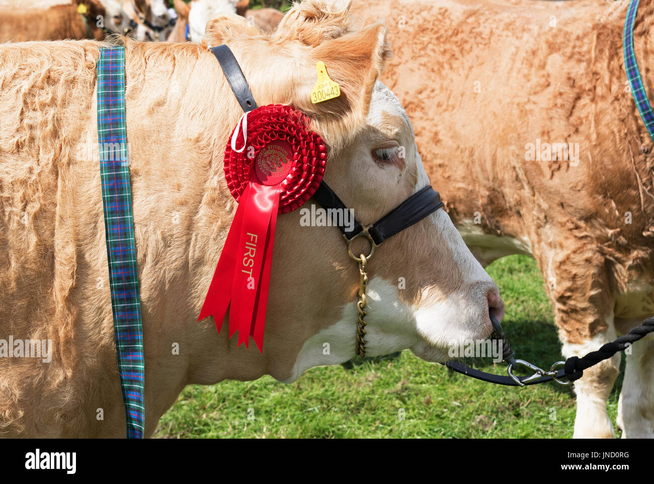 a first prize rozette winner winning bull cow at a country fair in cornwall, england, uk. - Stock Image