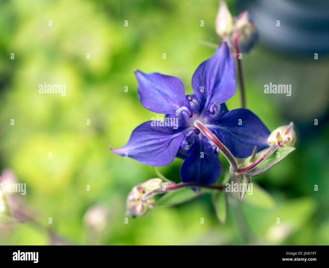 Underside of a bluish purple Aquilegia reveals the distinctive Columbine spurs - Stock Image